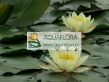 Lilia wodna - Nymphaea Chromatella -